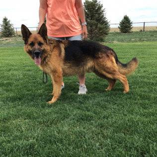 German Shepherds for sale in Ft. Collins, Pierce, and Greeley, CO