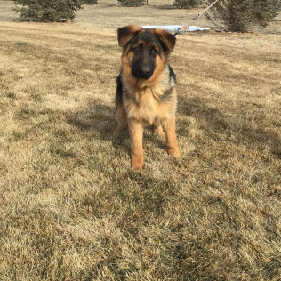 Puppies for sale in Ft. Collins, Pierce, and Greeley, CO